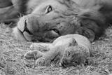 Cute Lion Cub Resting With Father Giclée premium par Donvanstaden