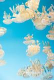 Spotted Lagoon Jelly, Golden Medusa, Mastigias Papua Papier Photo par Steffstarr