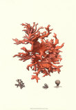 Red Coral III