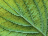 Veins of a Flowering Dogwood Leaf