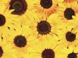 Dew on Sunflowers