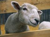 Sheep Poking Head Through Fence