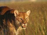 Mountain Lion Roaming in Field