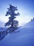 Tree on Snow Covered Hill