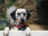 Dalmatian Looking over Fence