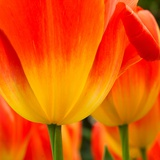 Tulip's Petals