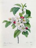 """Apple Blossom  from """"Les Choix Des Plus Belles Fleurs"""""""