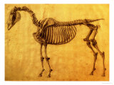 Finished Study for the First Skeletal Table of a Horse  circa 1766