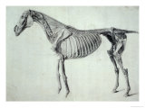 Finished Study for the Fifth Anatomical Table of a Horse