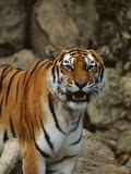 Bengal Tiger Snarling