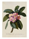 Botanical Print of Frangipani