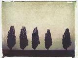 Five Poplars