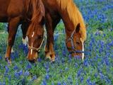 Horses Grazing Among Bluebonnets