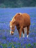 Horse Standing Among Bluebonnets