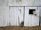 Cheval passant la tête hors de son box Papier Photo par Kevin R. Morris
