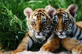 Deux petits tigres de Sibérie Papier Photo par W. Perry Conway