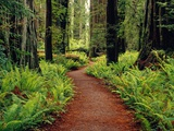 Trail Winding Through Redwoods