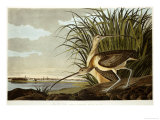 Male And Female Long Billed Curlew (Numenius Americanus) with the City of Charleston Behind Giclée par John James Audubon