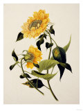 Double Yellow Hibiscus  circa 1800