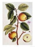 Apple Tree (Malus Sativa), 1739 Giclée par Elizabeth Blackwell