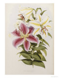 A Monograph of the Genus Lilium  Late 19th Century