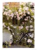 Climbing Roses  1912