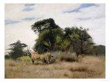 Gemsbok Oryx  1891