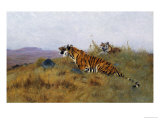 Tigers Stalking Their Prey