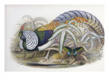 Lady Amherst's Pheasant
