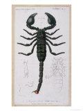 African Scorpion