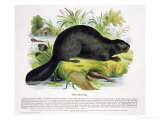 The Beaver  Educational Illustration Pub by the Society for Promoting Christian Knowledge  1843