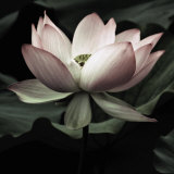 The Lotus I Reproduction d'art par Andy Neuwirth