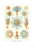 Colonial Jellyfish  Tablet 93  c1899-1904