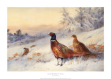 Cock and Hen Pheasant in Snow