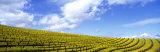 Mustard Fields  Napa Valley  California  USA