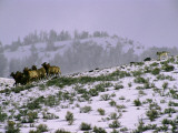 A Reintroduced Wolf Chases a Herd of Elk in Yellowstone National Park