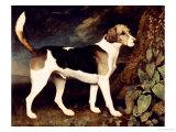 Ringwood  a Brocklesby Foxhound  1792