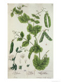 "Pea  Plate from ""Herbarium Blackwellianum"" by the Artist  1757"
