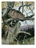 Wildcat in a Tree  1902