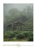 Rejuvenate: Tea Plantation