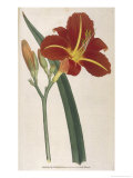 Tawny Day Lily