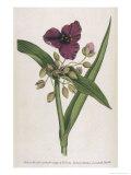 Virginian Tradescantia or Spiderwort