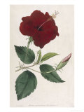 China Rose Hibiscus