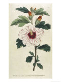 Syrian Hibiscus or Althaea Fruter