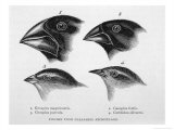 Finches from the Galapagos Islands Observed by Darwin