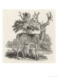 The Stag or Red-Deer (Cervus Elephas) This is the Most Beautiful Animal of the Deer Kind
