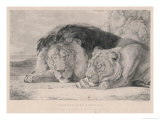 Sleeping Lion and Lioness