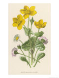 Marsh Marigold Depicted with Bellis Perennis  Common Daisy