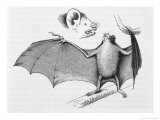 Vampire Bat (Desmodus d'Orbignyi) Caught at the Back of Darwin's House in Chile South America