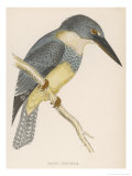 North American Belted Kingfisher